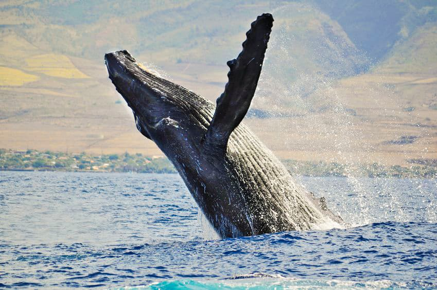 Whale breaching on Kauai whale watching tour