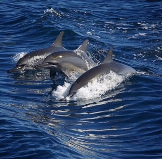 Spinner dolphin spotting during Napali Coast Tour
