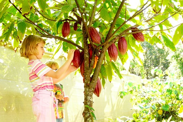 Kids picking chocolate pod on Chocolate Tour in Kauai