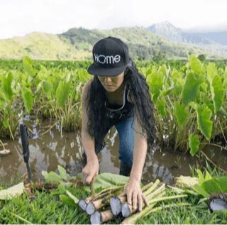 Harvesting taro in Hanalei Kauai
