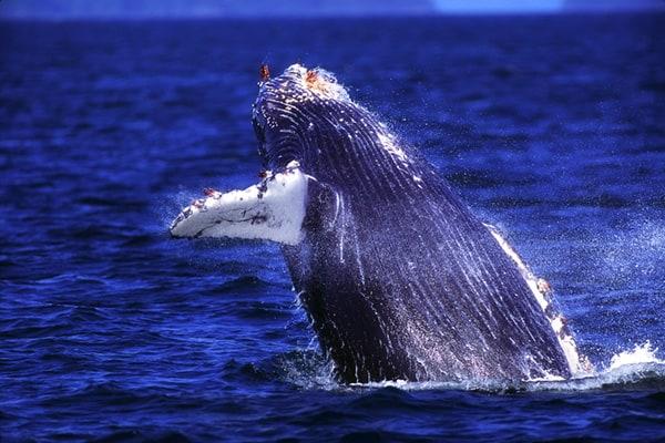 Humpback whale breech during Napali Coast boat tour
